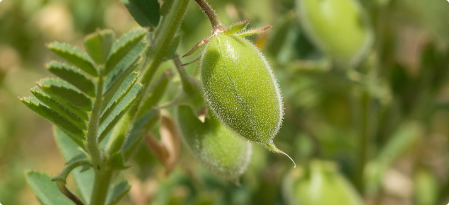 Chickpea Cultivation