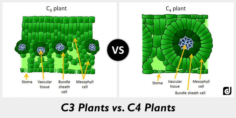 Calvin Or C3 Cycle Or Pcr Agri Learner