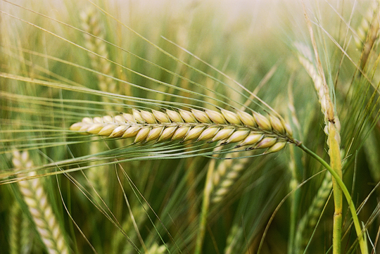 Oats Cereal Cultivation