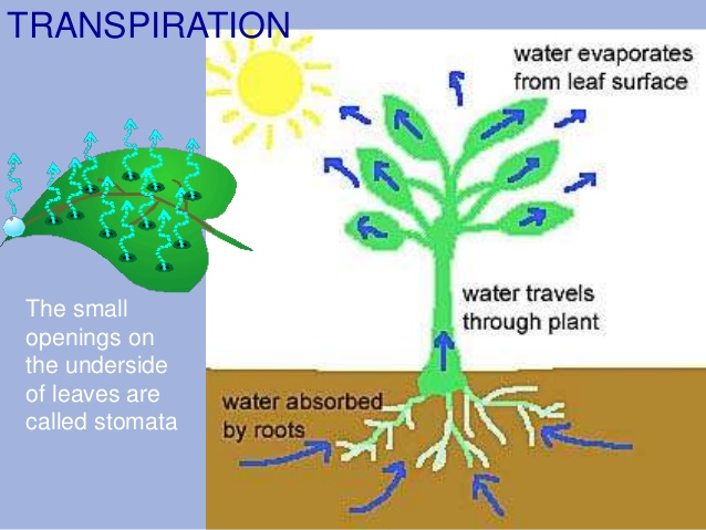 Role Of Water In Plant Growth