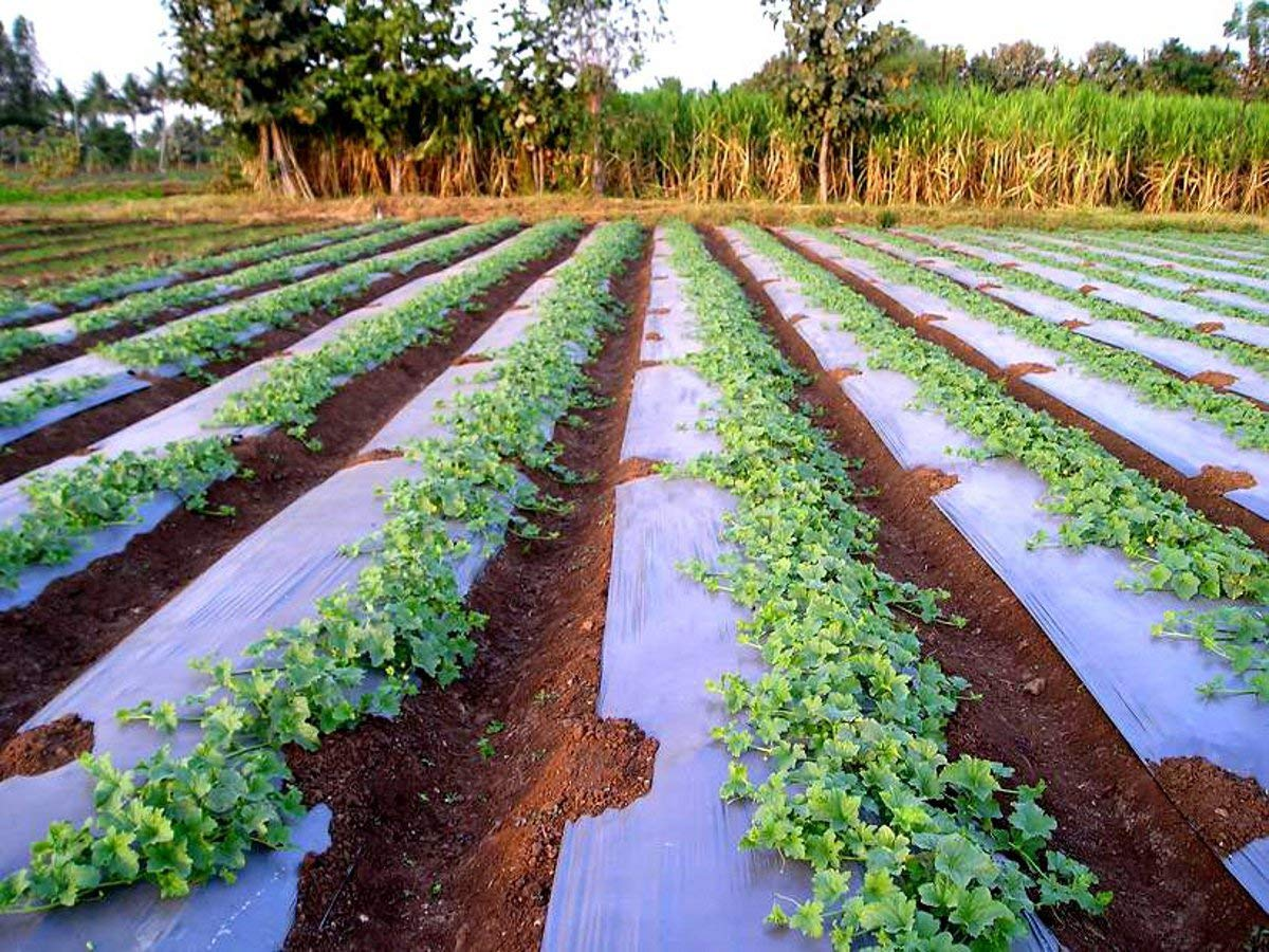 Plastic Mulching For Crop Production Agri Learner