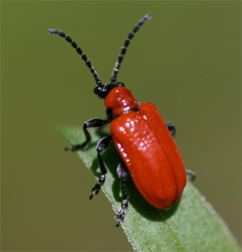 insect-pest of brinjal