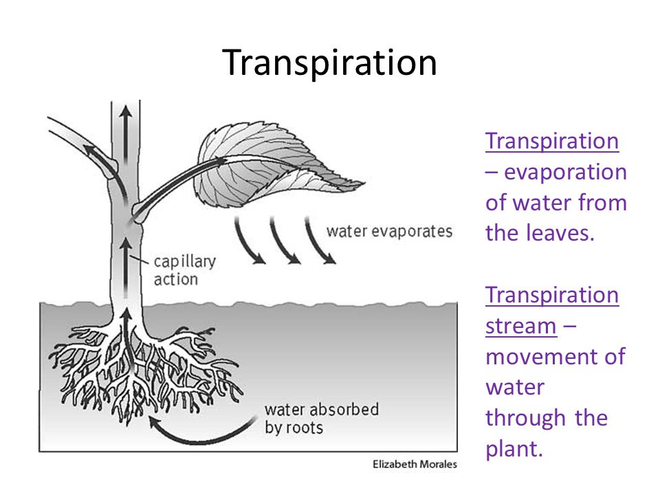 Role Of Stomata In Transpiration Agri Learner
