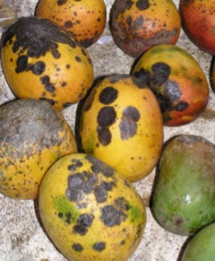 Diseases of Mango