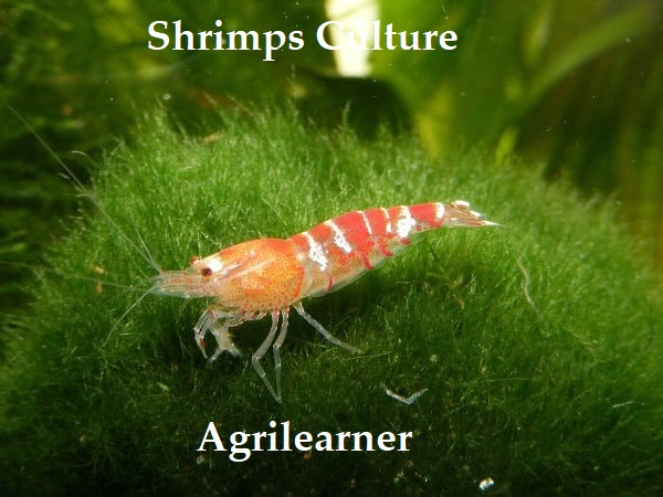 Shrimps Culture