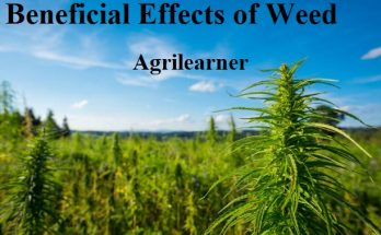 Beneficial Effects of Weed