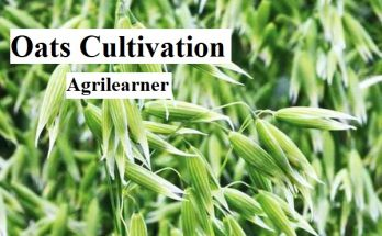 Oats Cultivation